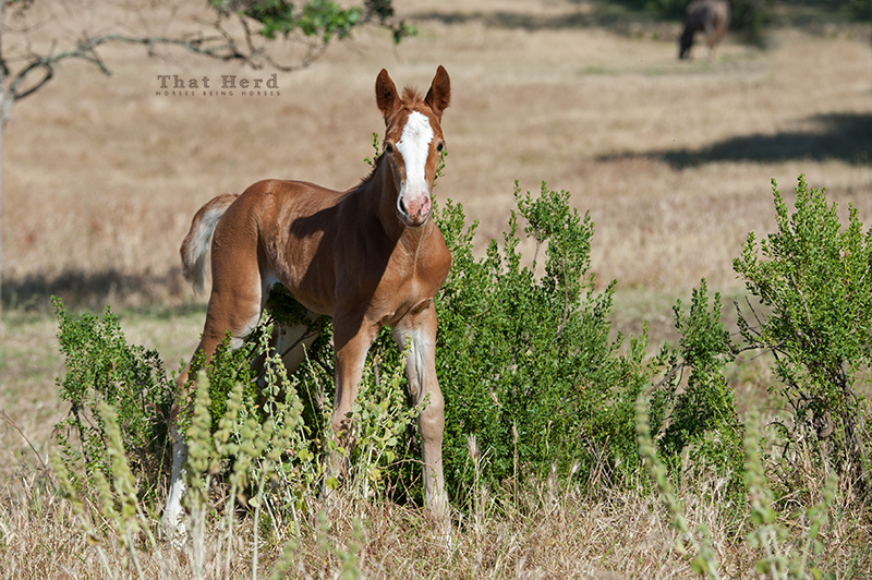 wild horse photography of a new foal scratching it's belly with brush