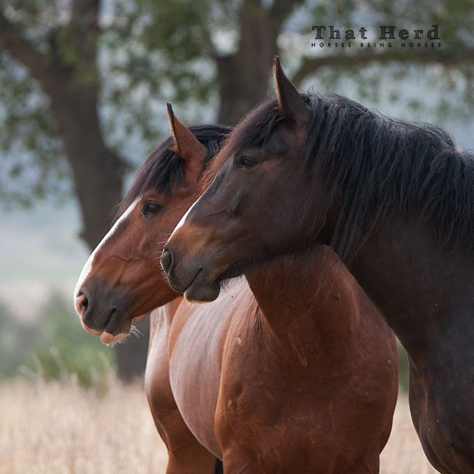 wild horse photography portrait of a mare and stallion