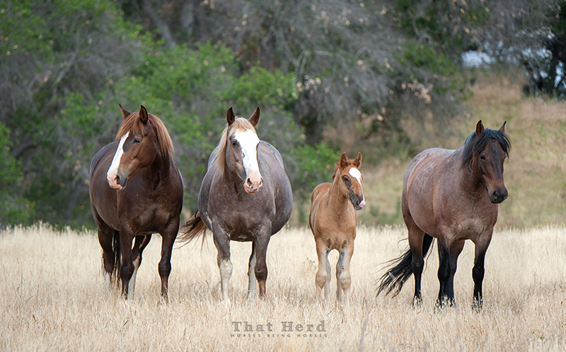 wild horse photography of three mares and a foal