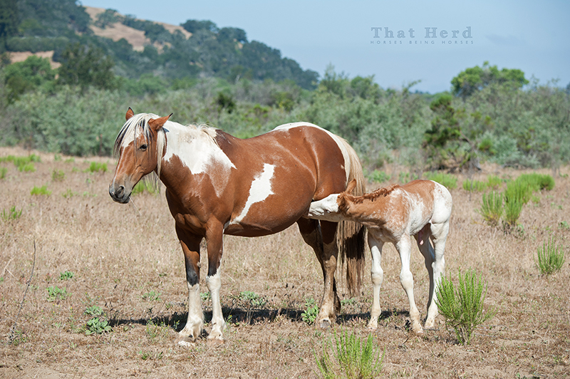 wild horse photography of a colt attempting to steal milk