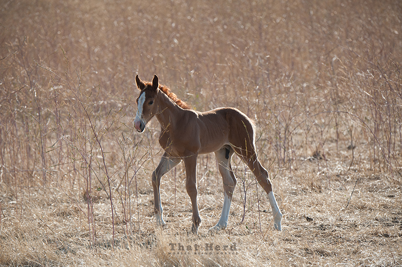 wild horse photography of a young colt in a field of dry stalks
