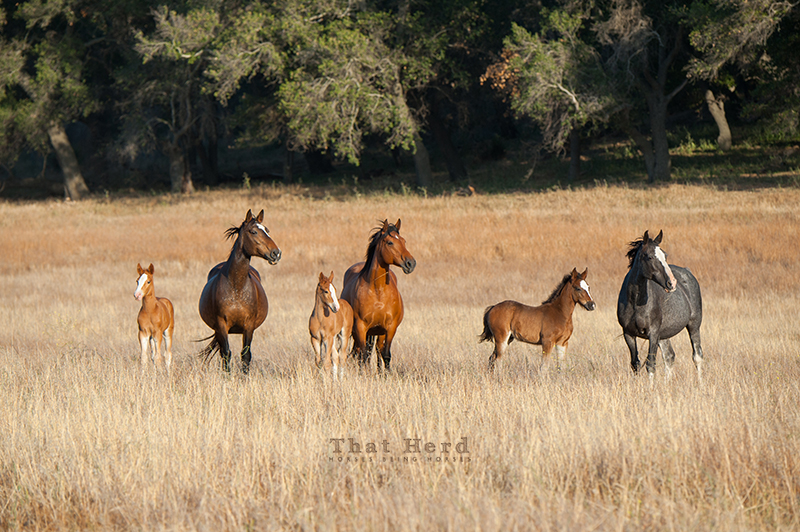 wild horse photography of mares and foals standing alert