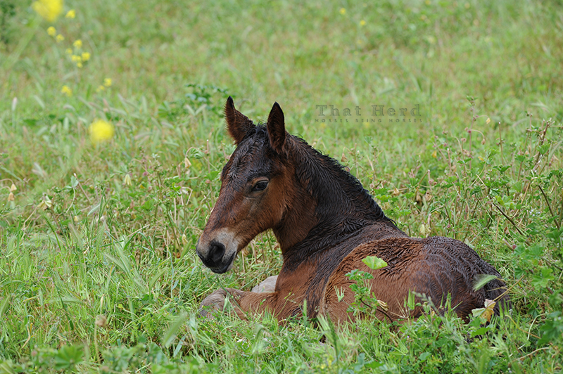 wild horse photography of a plain brown colt resting