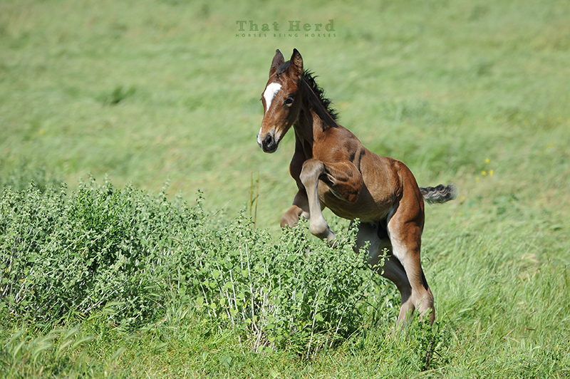 wild horse photography of a foal leaping over a bush