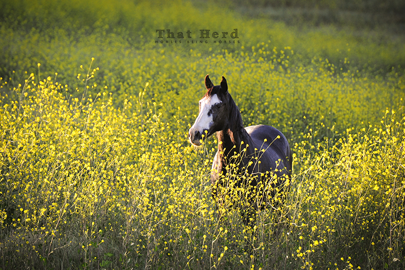 wild horse photography of a mare in chest high mustard plants