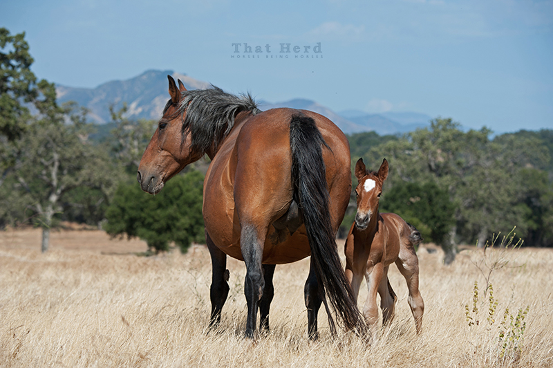 wild horse photography of an old mare and newborn foal