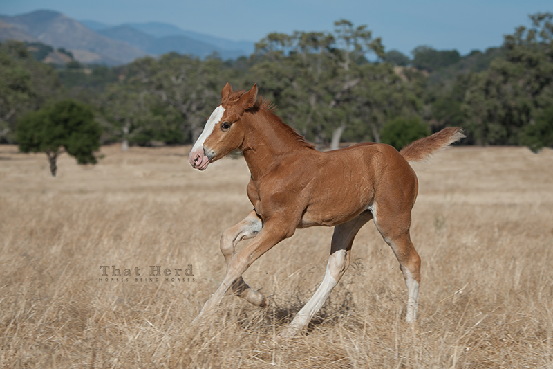 wild horse photography of a galloping foal