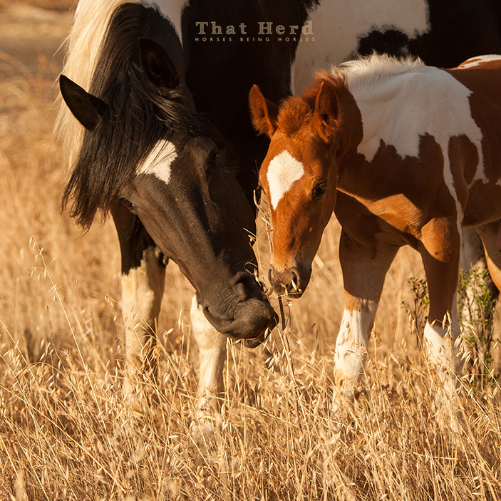 wild horse photography of a mare and foal grazing on oats