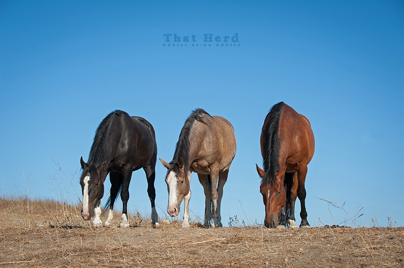 wild horse photography of three horses browsing on a hilltop