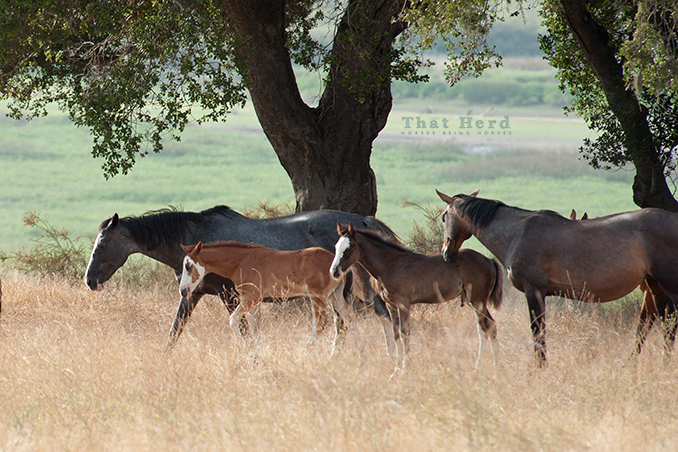 wild horse photography of two buddy mares and their foals
