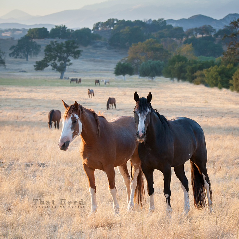 wild horse photography of two colorful colts