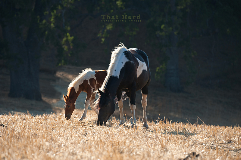 wild horse photography of a mare and foal grazing lin the late-day sun