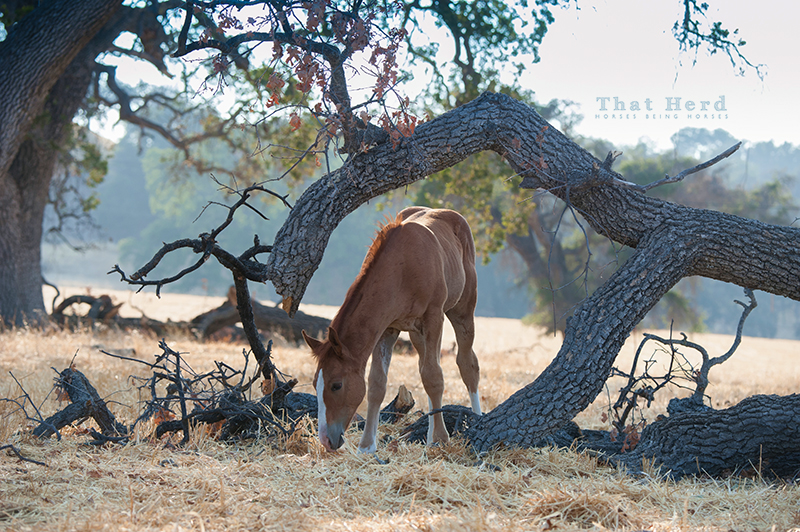 wild horse photography of a colt grazing beneath a fallen oak