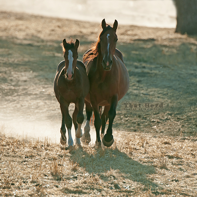 wild horse photography of a mare and colt approaching