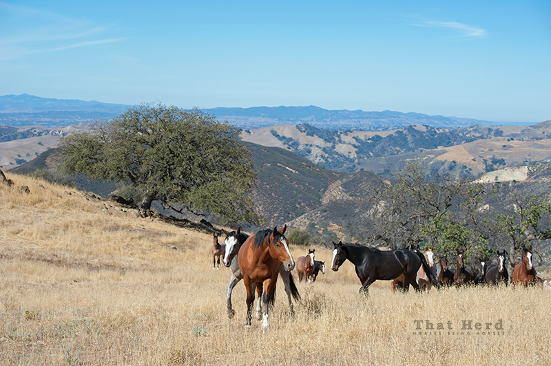 wild horse photography of a band of horses on a hilltop