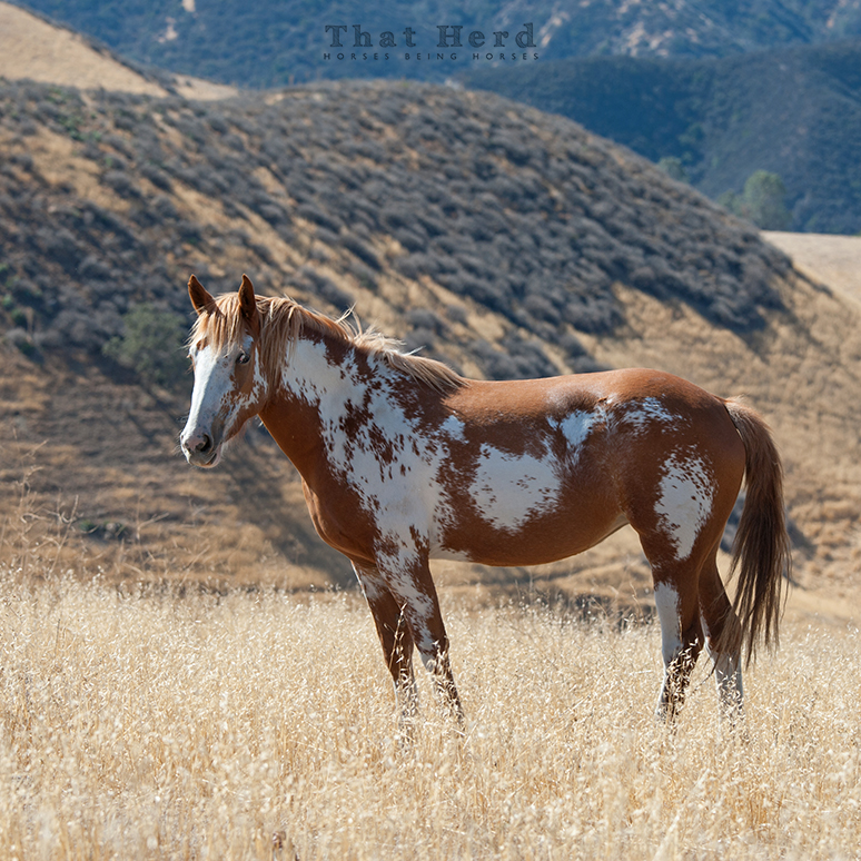 wild horse photography of a paint filly