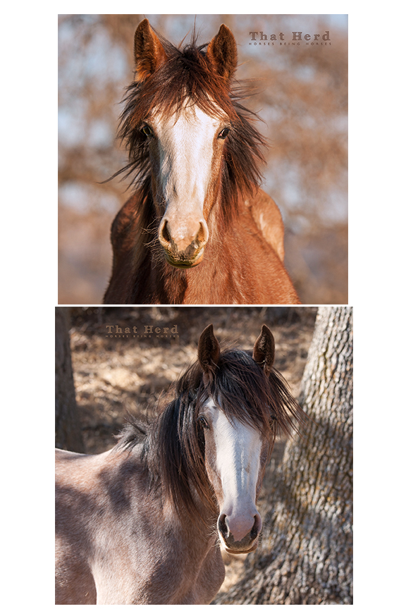 wild horse photography comparing weanling and yearling filly