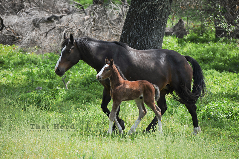 wild horse photography of an April foal and his mother