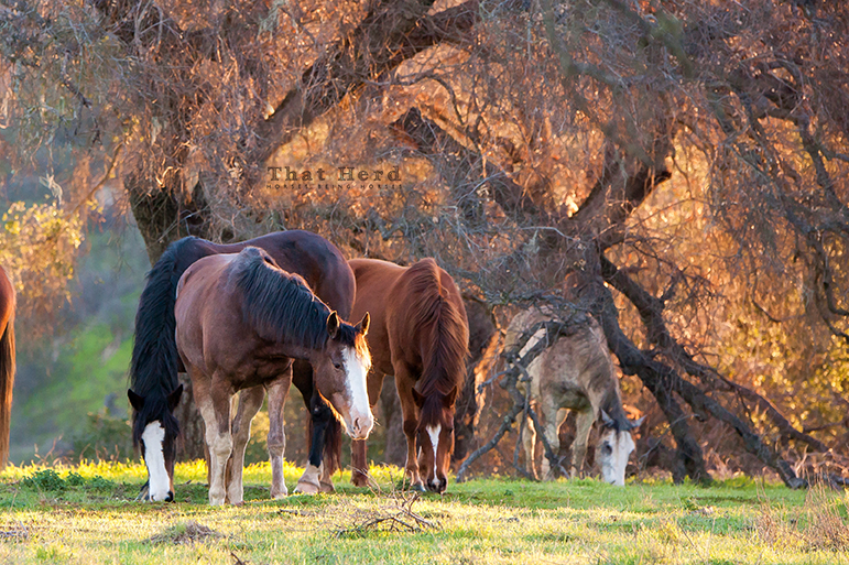 wild horse photography of early morning grazers