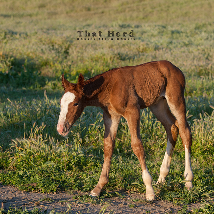 wild horse photography of a sturdy newborn filly