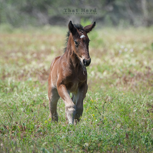 wild horse photography of a bay newborn filly