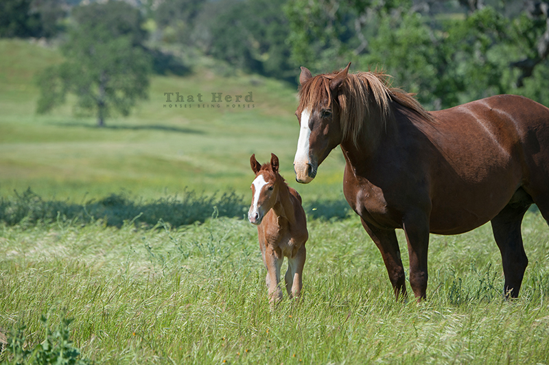 wild horse photography of a new mother and her colt