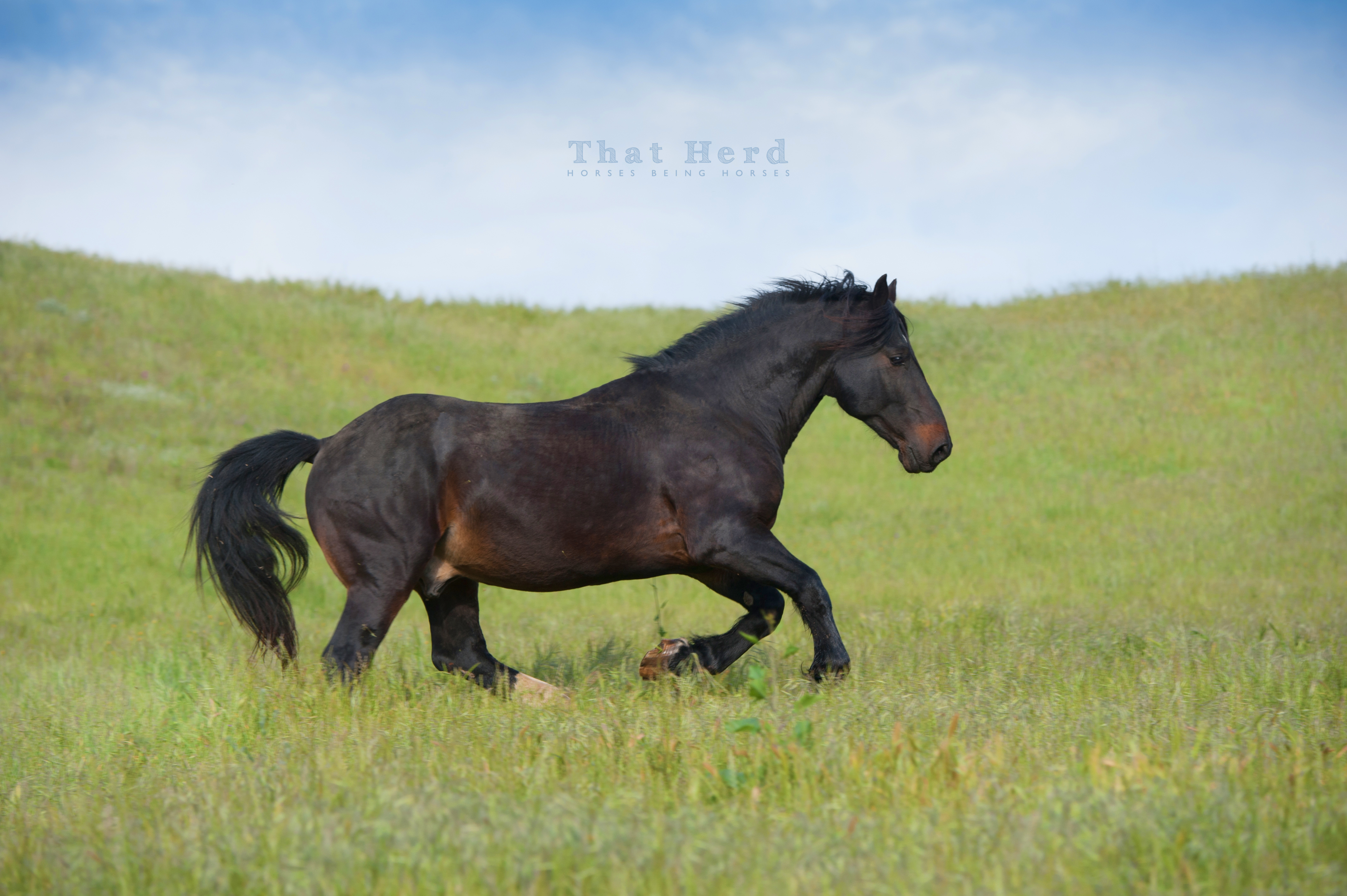 wild horse photography of a romping stallion