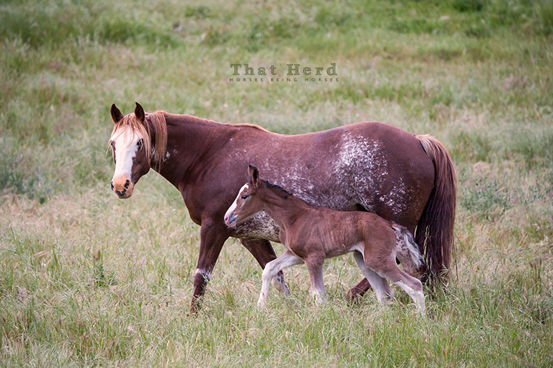 wild horse photography of a mare and new foal