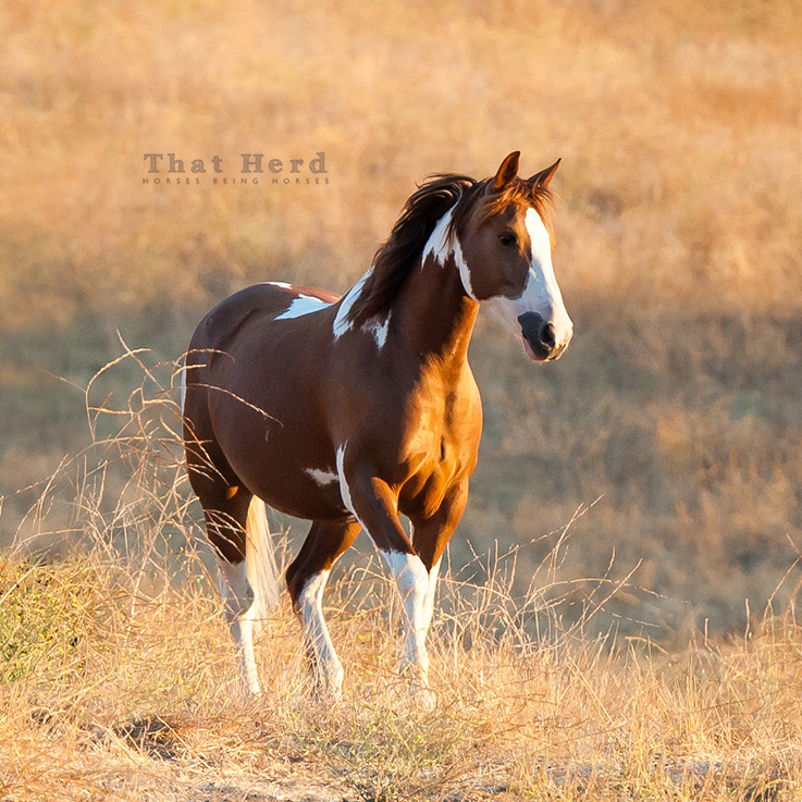 free range horse photography of a paint mare
