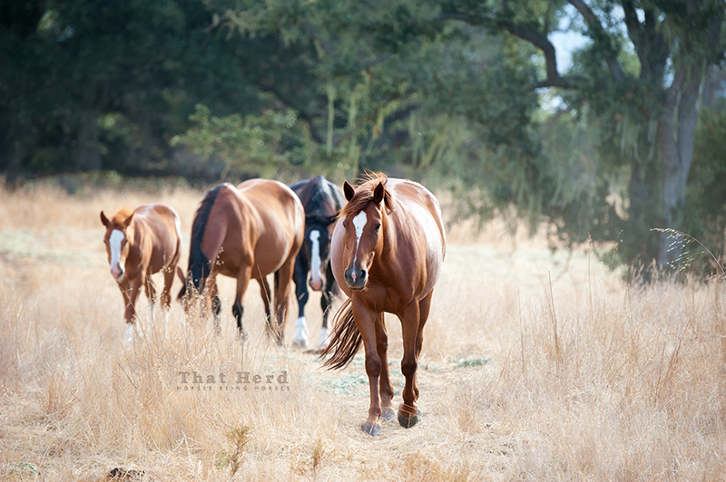free range horse photography of a young mare leading a morning stroll