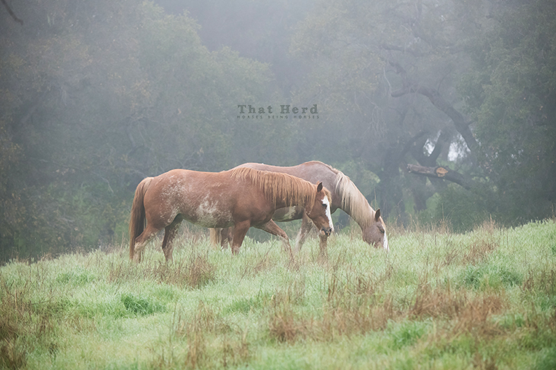 free range horse photography of misty morning mares