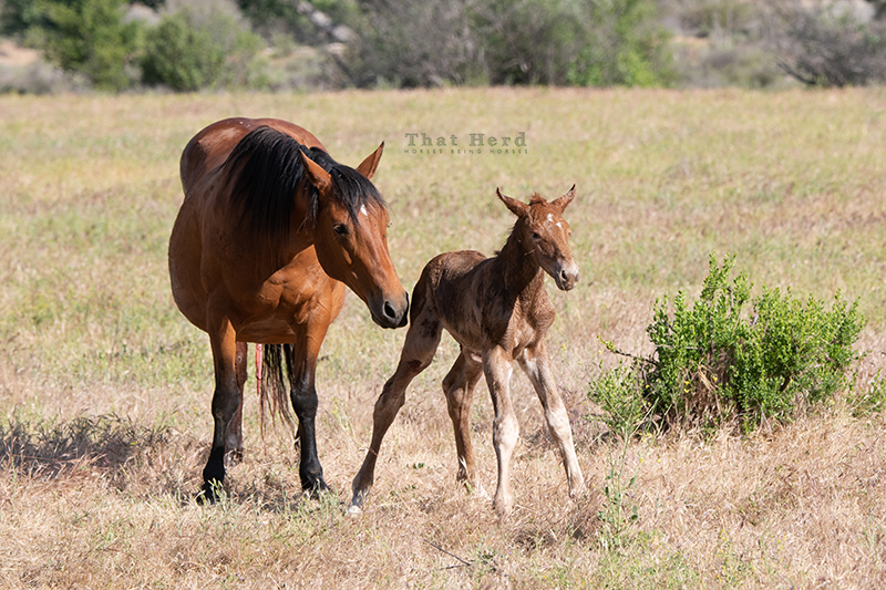 free range horse photography of a newborn foal's first stance