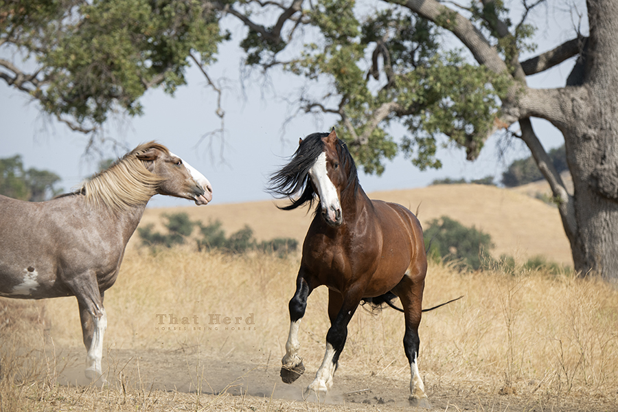 free range horses challenging each other over a mud hole