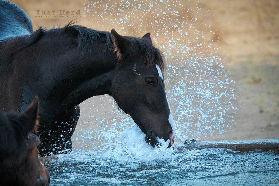 free range horse photography of a filly playing in water