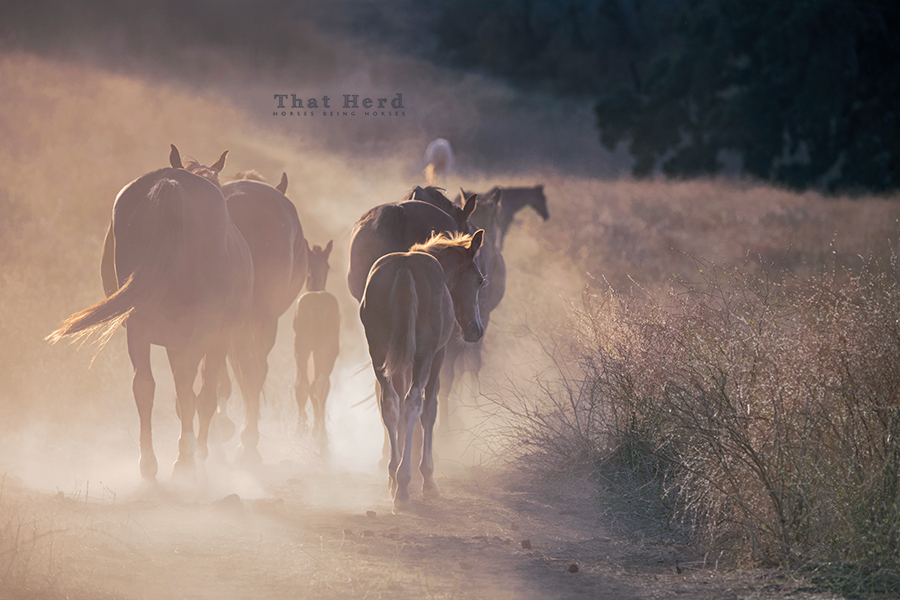 free range horse photography of mares & foals on a dusty path