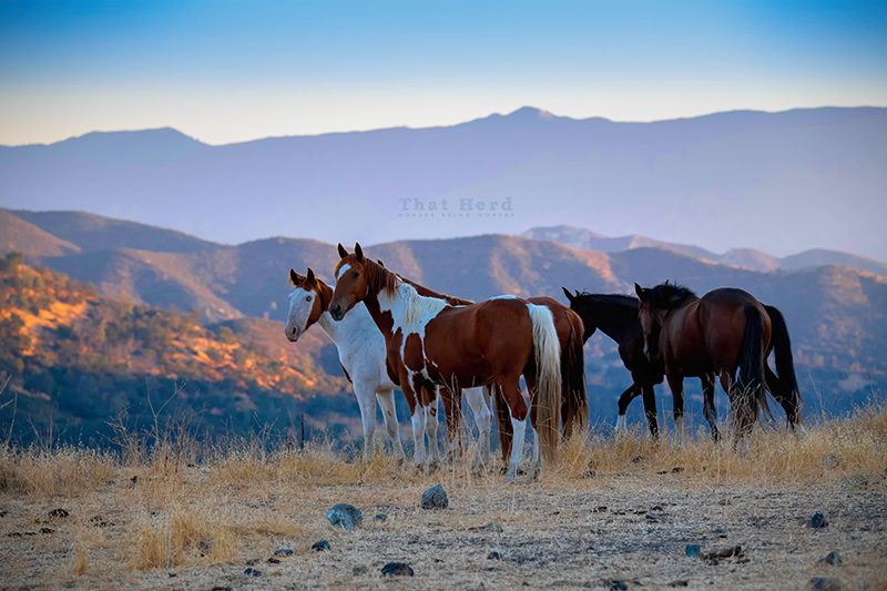 free range horse photography of young horses on a hilltop