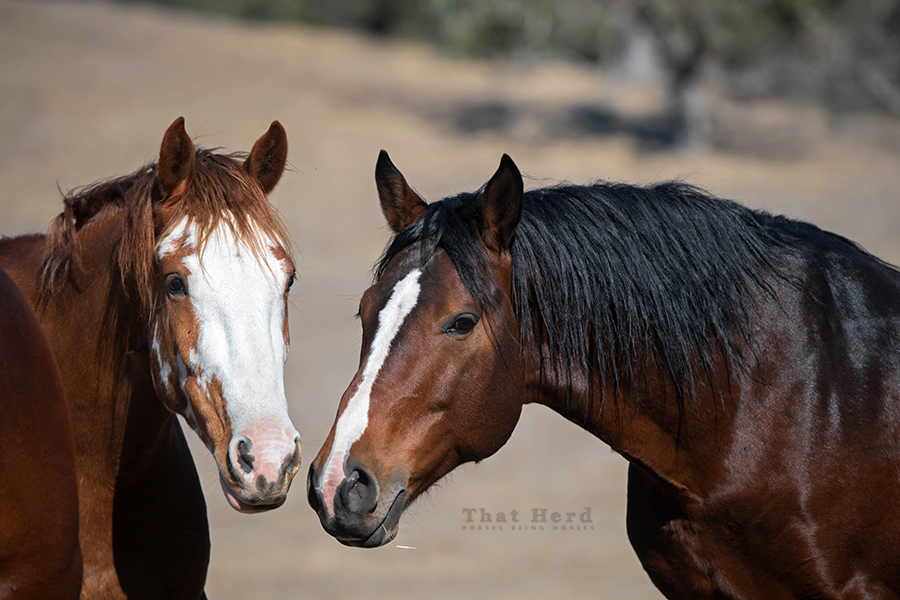 free range horse photography of a stallion greeting a herdmate