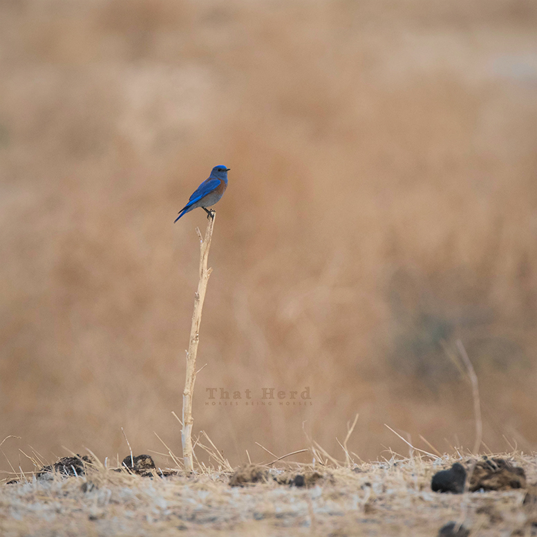 free range horse photography of a blue bird in dry terrain