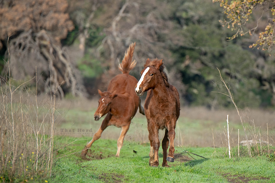 free range horse photography of two frisky weanlings