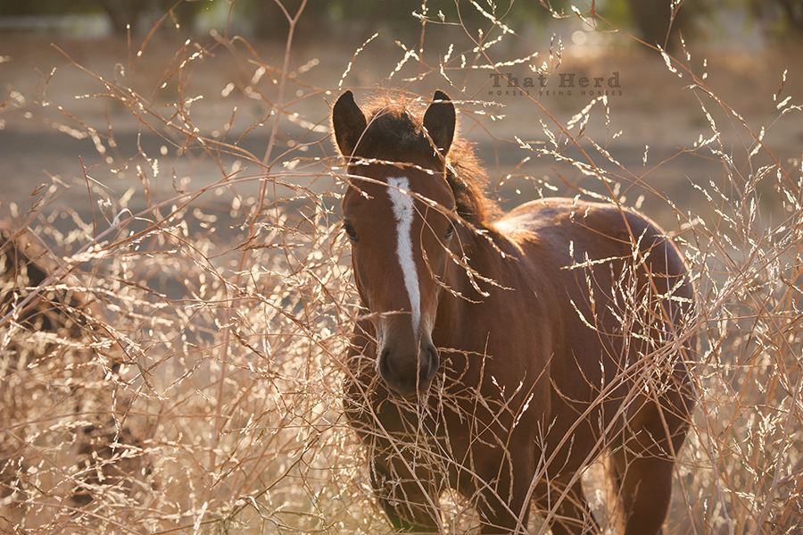 free range horse photography of a foal in tall stalks