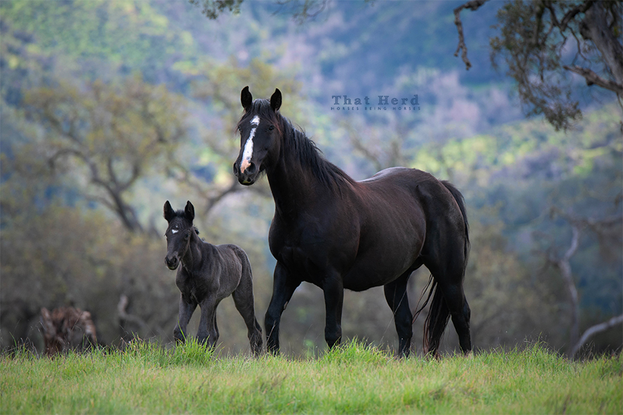 free range horse photography of a black mare and black newborn filly
