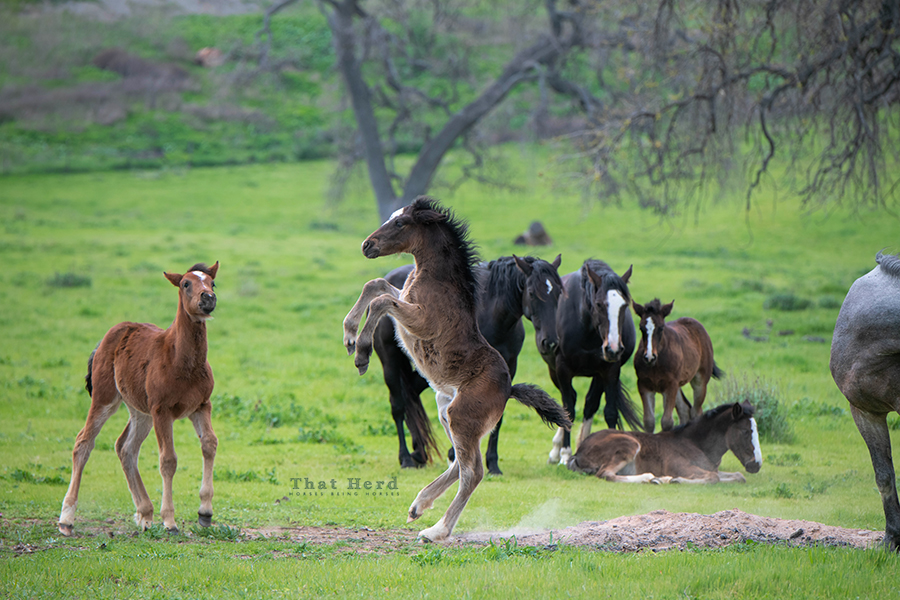 free range horse photography of a foal rearing in mock battle