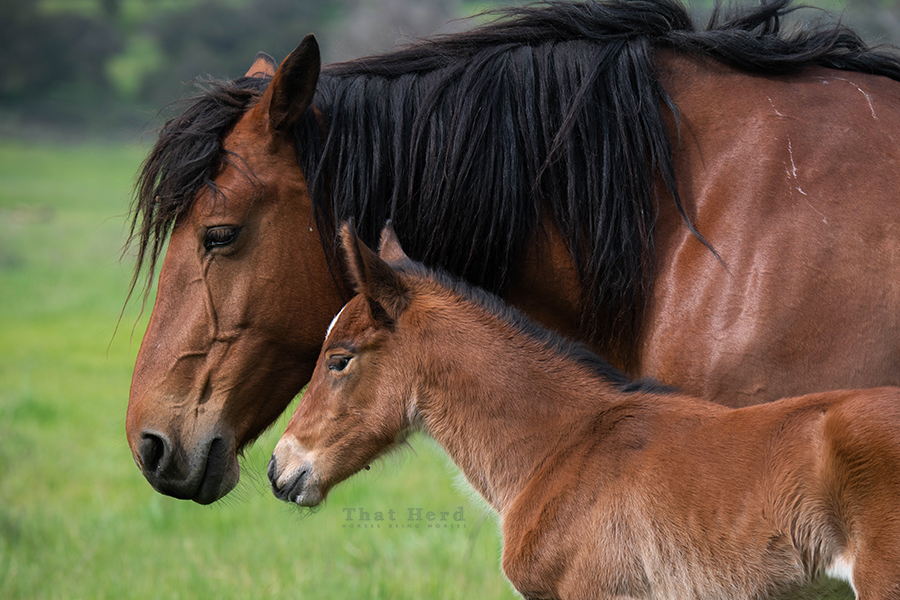 free range horse photography of a tired mother of a newborn foal
