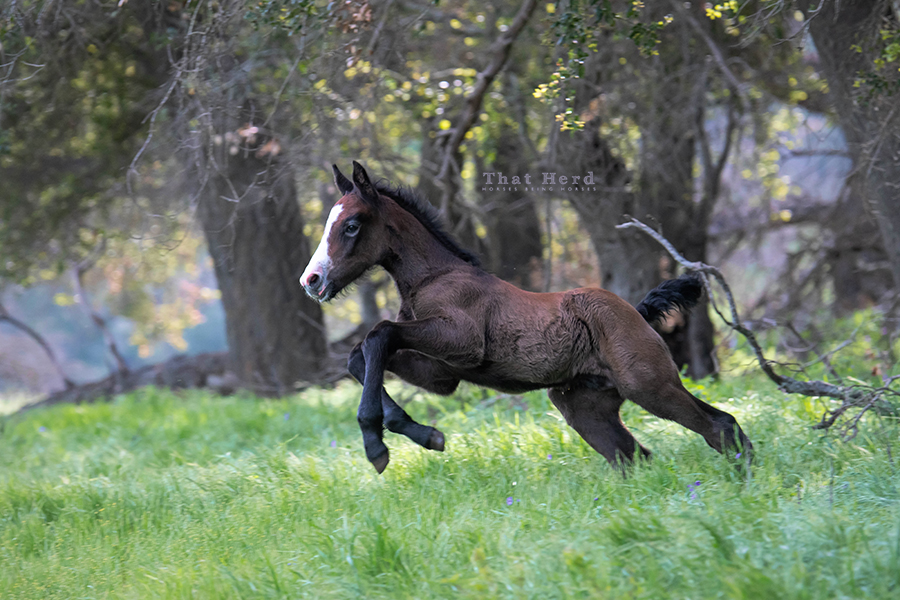 free range horse photography of a young colt leaping out of a wooded location