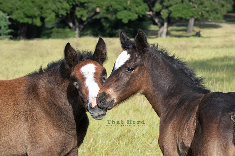 free range horse photography of two foals meeting tenderly