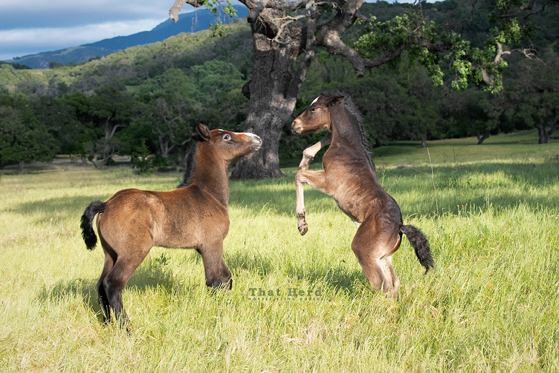 free range horse photography of two foals coming to an understanding