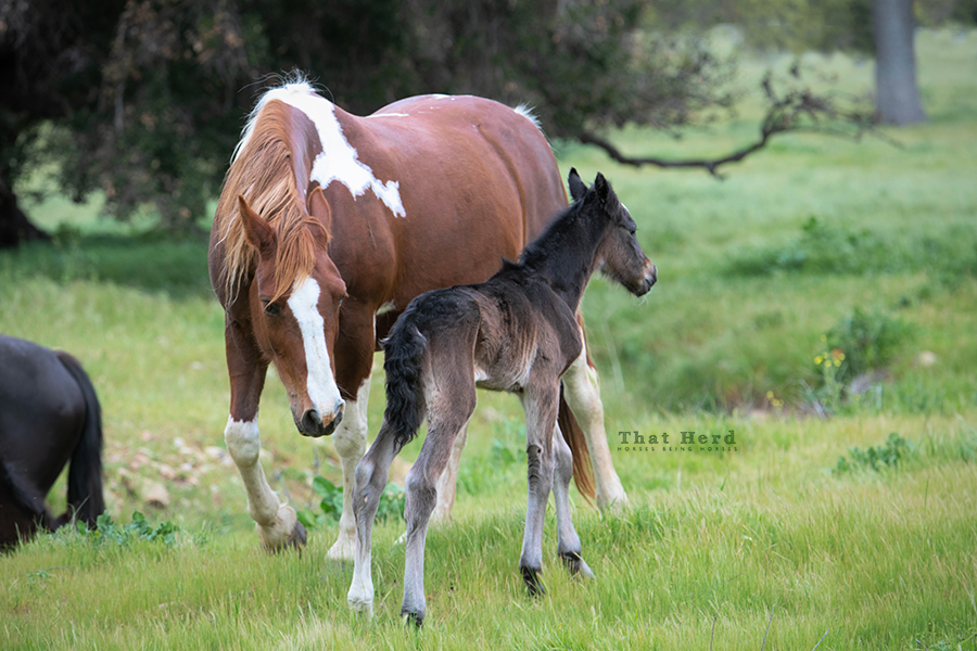 free range horse photography of a grieving mare taking possession of another mare's newborn foal