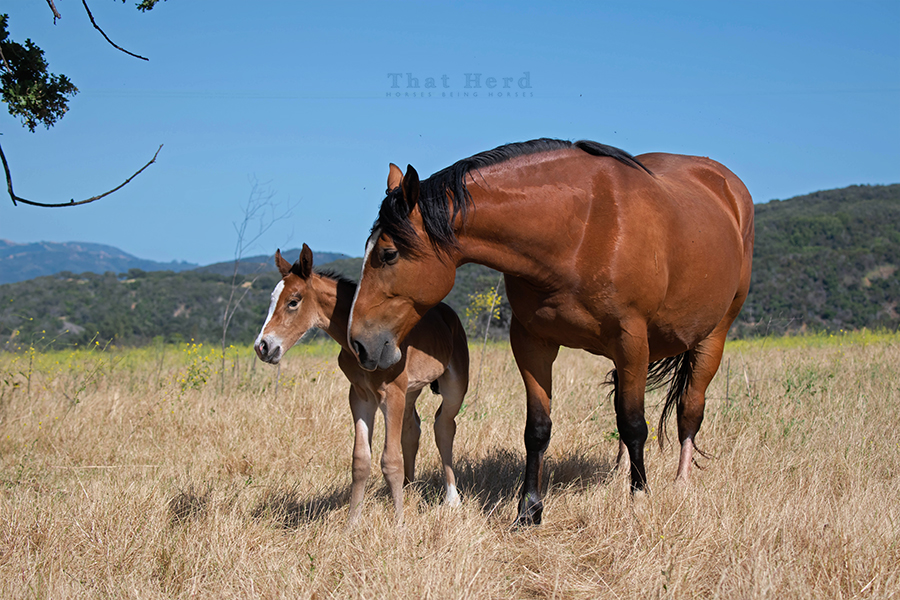 free range horse photography of a devoted mare and her first foal