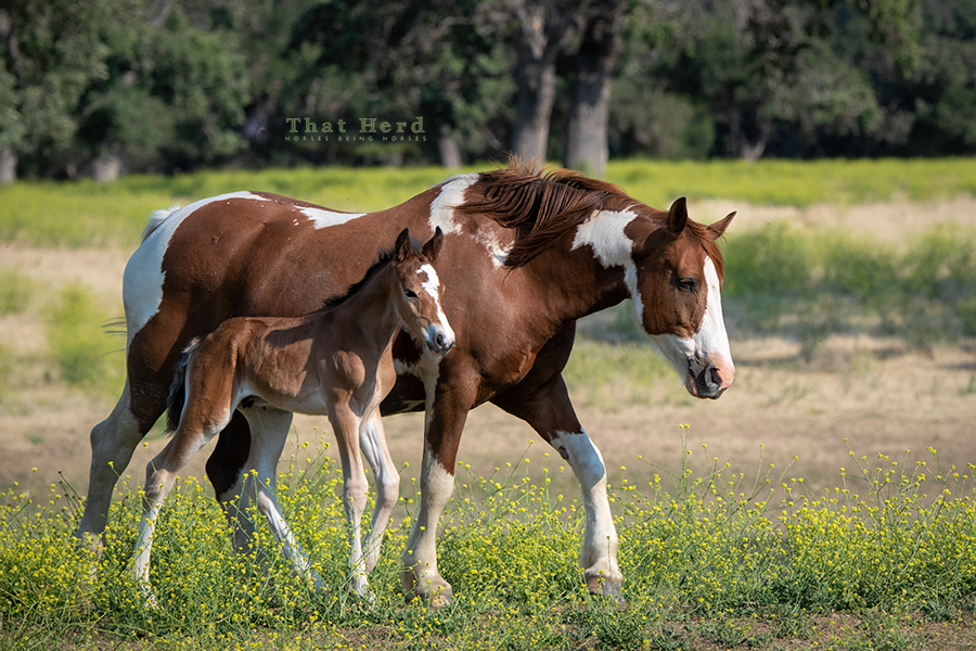 free range horse photography of a paint mare with here newborn colt