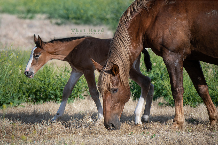 free range horse photography of a new bay filly